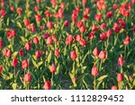 red tulips grow on the ground | Shutterstock . vector #1112829452