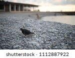 bird on pebble beach in... | Shutterstock . vector #1112887922
