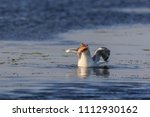 seagull eating fish in danube... | Shutterstock . vector #1112930162