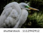 a close up of a  snowy egret    ... | Shutterstock . vector #1112942912