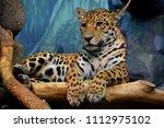jaguar is a cat  a feline in... | Shutterstock . vector #1112975102