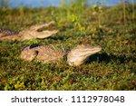 crocodile in liwonde n.p.  ... | Shutterstock . vector #1112978048
