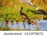 yellow billed stork  mycteria... | Shutterstock . vector #1112978072
