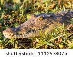 crocodile in liwonde n.p.  ... | Shutterstock . vector #1112978075