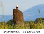 fish eagle in liwonde n.p.  ... | Shutterstock . vector #1112978705