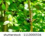 american redstart  deep in a... | Shutterstock . vector #1113000536