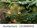 magnolia warbler deep in a... | Shutterstock . vector #1113000542