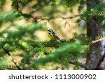 magnolia warbler perched deep... | Shutterstock . vector #1113000902
