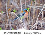 finch is a songbird of the...   Shutterstock . vector #1113070982