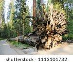 """the fallen monarch""  a tree... | Shutterstock . vector #1113101732"