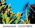 vibrant green leaves on sunset...   Shutterstock . vector #1113178892