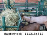 brown goats on the farm   Shutterstock . vector #1113186512