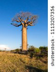 beautiful baobab trees at... | Shutterstock . vector #1113207356