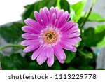 gerbera flower  gerbera blossom ... | Shutterstock . vector #1113229778