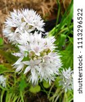 allium gracefull white flower | Shutterstock . vector #1113296522