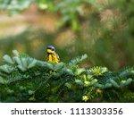 magnolia warbler deep in a... | Shutterstock . vector #1113303356