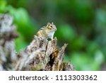 chipmunk  deep in a boreal... | Shutterstock . vector #1113303362