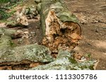 a log of big broken old beech... | Shutterstock . vector #1113305786