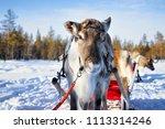 reindeer sledge ride in winter... | Shutterstock . vector #1113314246