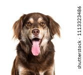 close up of a brown mixed breed ...   Shutterstock . vector #1113323486