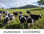 cow herd in la plaine des... | Shutterstock . vector #1113336962
