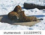 the amur leopard is a leopard...   Shutterstock . vector #1113359972