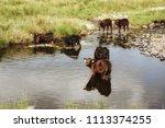 Herd Of Cows Having A Bath...