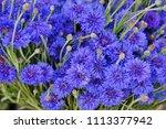 blue bachelor's button... | Shutterstock . vector #1113377942