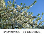 branches in a beautiful blossom ... | Shutterstock . vector #1113389828
