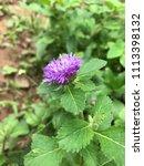 purple blooming flowers | Shutterstock . vector #1113398132