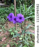 purple blooming flower in the... | Shutterstock . vector #1113398582