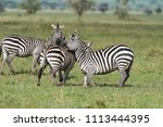 zebras playing on the knees... | Shutterstock . vector #1113444395
