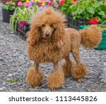 poodle with funny hair style. | Shutterstock . vector #1113445826