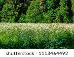 sunny meadow with dandellions... | Shutterstock . vector #1113464492