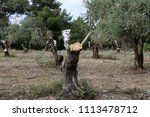 old olive tree   Shutterstock . vector #1113478712