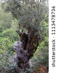 old olive tree   Shutterstock . vector #1113478736