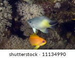 Small photo of yellow-side damselfish (amblyglyphidodon flavilatus)