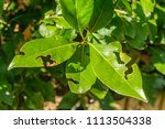 leaf damage caused by vine... | Shutterstock . vector #1113504338