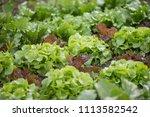 lettuce vegetable patch in... | Shutterstock . vector #1113582542