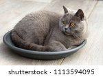 british short hair cat lying in ... | Shutterstock . vector #1113594095