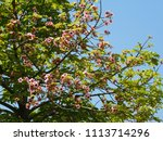Small photo of Green foliage and pink flowers of a Lacebark or Pink plane or Brachychiton discolor tree in Athens, Greece