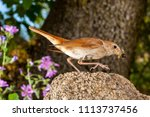 nightingale  luscinia... | Shutterstock . vector #1113737456
