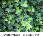 ivy  hedera  plant useful as a...   Shutterstock . vector #1113823445
