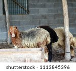 sheep for the feast of... | Shutterstock . vector #1113845396