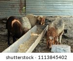 sheep for the feast of... | Shutterstock . vector #1113845402