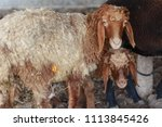 sheep for the feast of... | Shutterstock . vector #1113845426