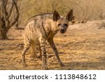 indian striped hyena habitat... | Shutterstock . vector #1113848612