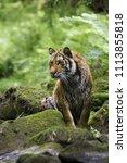 the siberian tiger  panthera... | Shutterstock . vector #1113855818