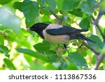 rosy starling  pastor roseus ... | Shutterstock . vector #1113867536