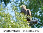 white tailed eagle  haliaeetus... | Shutterstock . vector #1113867542